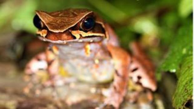 Maoson horned frog adult