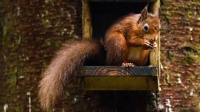 A red squirrel eating nuts in Scotland