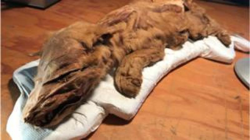 Mummified wolf pup
