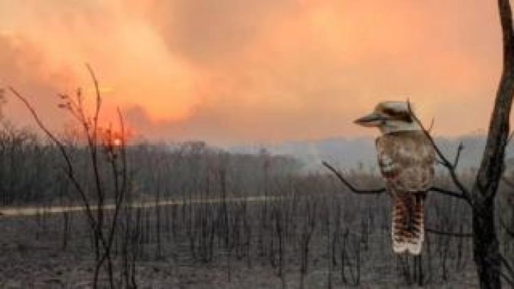 A kookaburra on a burnt tree in fire-hit Wallabi Point, New South Wales