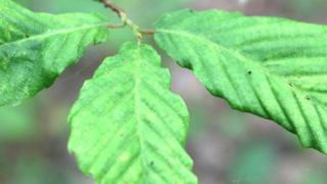 Leaf displaying the symptoms of Beech Leaf Disease
