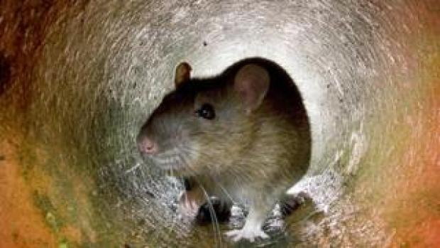 Brown rat in a drain pipe