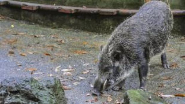 Stock photo of a wild boar in Japan