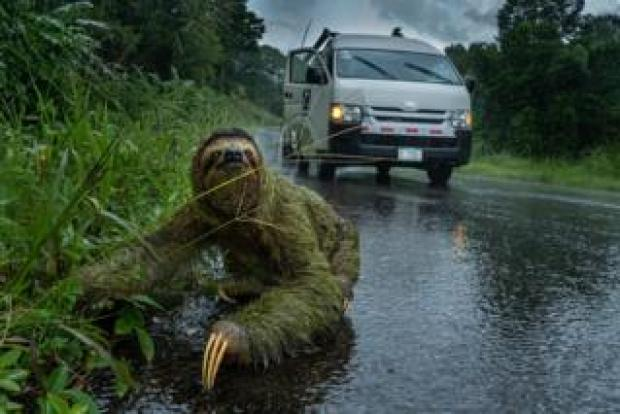 A sloth on a road with a car behind it