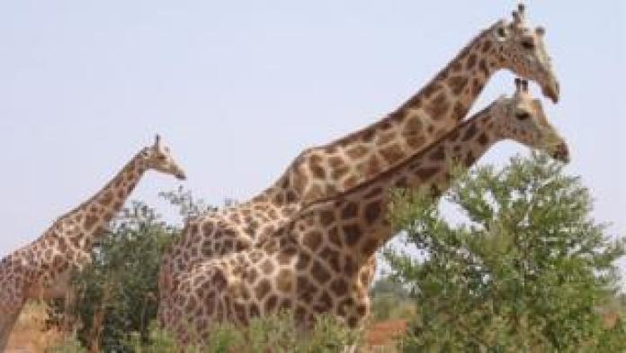 Niger giraffes