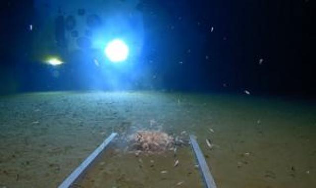Prawn-like crustaceans in Mariana Trench