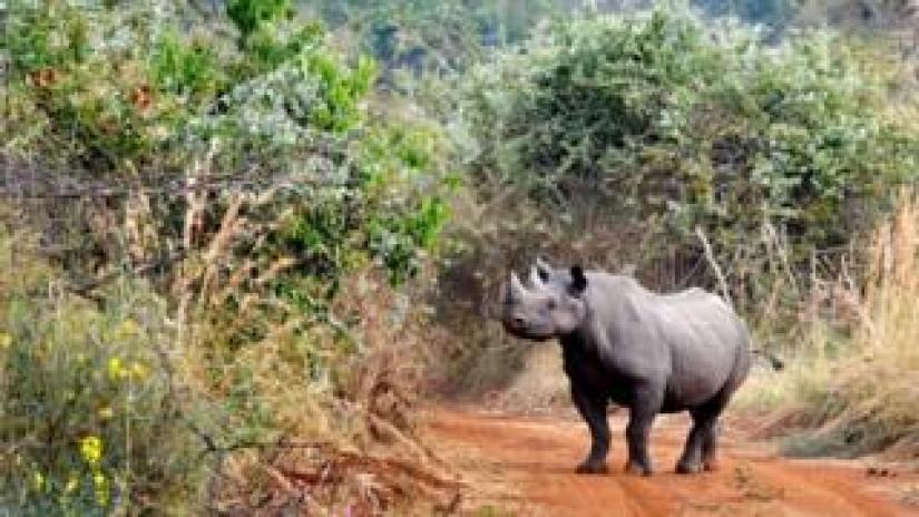 A black rhino in Akagera National Park