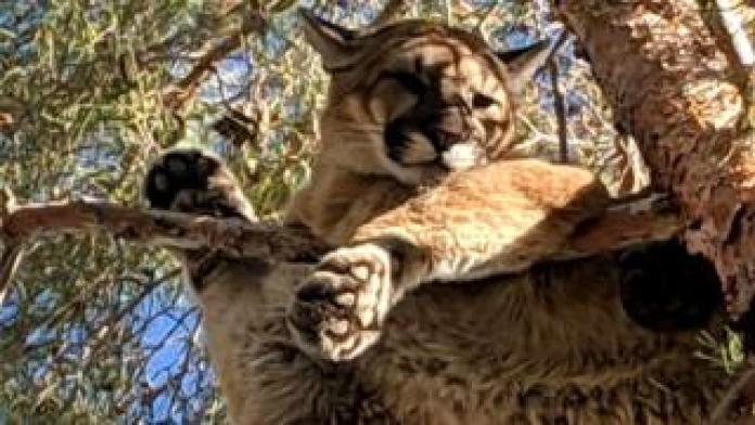 A puma resting on a branch about 50 feet above the ground in San Bernardino, California