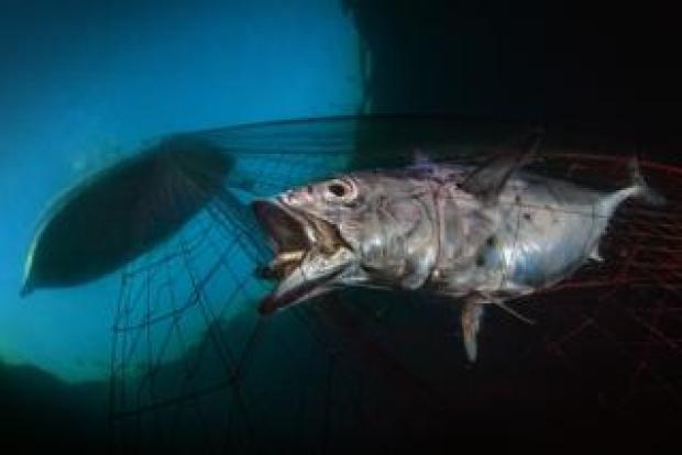 Tuna being caught.