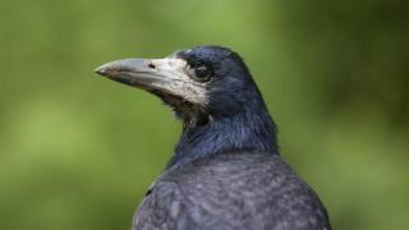 A rook crow