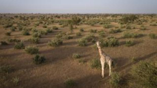 A giraffe stands in Niger's Giraffe Zone before it is captured.