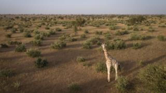 A giraffe stands in Niger's Giraffe Zone before it is captured.