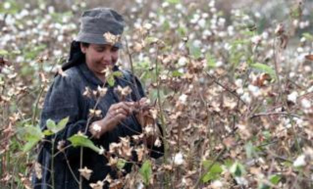 "Farmers harvest cotton in a field at Al-Hawaber village, Sharqia Governorate, north east of Cairo, Egypt, 16 October 2018 (Issued 17 October 2018). According to media reports, Egyptian cotton production, locally nicknamed ""The white gold"", is on track to regain its world renowned value as exports rates increased by 6.9 percent in the fiscal year 2017-2018"
