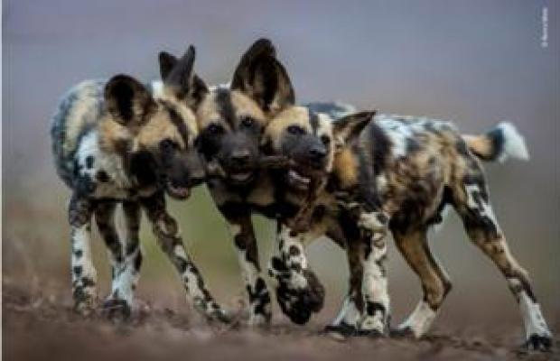 Painted wolves