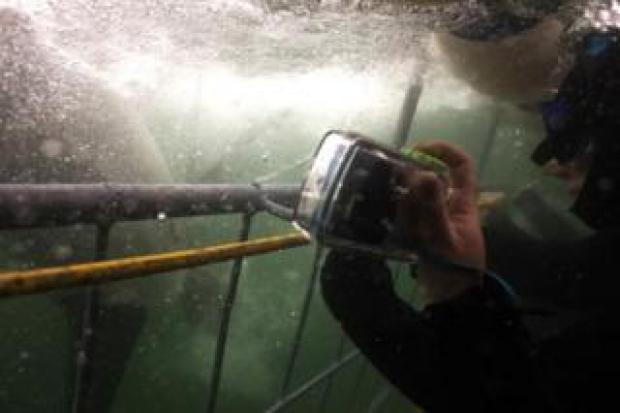 Tourists take pictures of a great white shark swimming for a dead tuna, used as a bait, during a shark cage diving tour