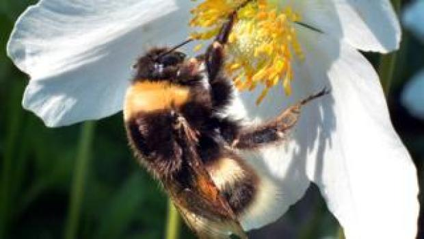 Bee collecting pollen near Moscow, file pic