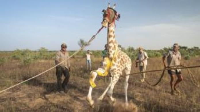 A giraffe is restrained before it is re-introduced to the Gadabedji Biosphere Reserve in Niger.