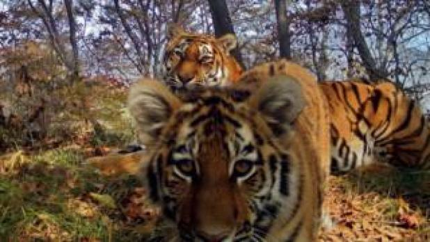 Siberian tigers in the Land of the Leopard national park, Siberia (July 2017)