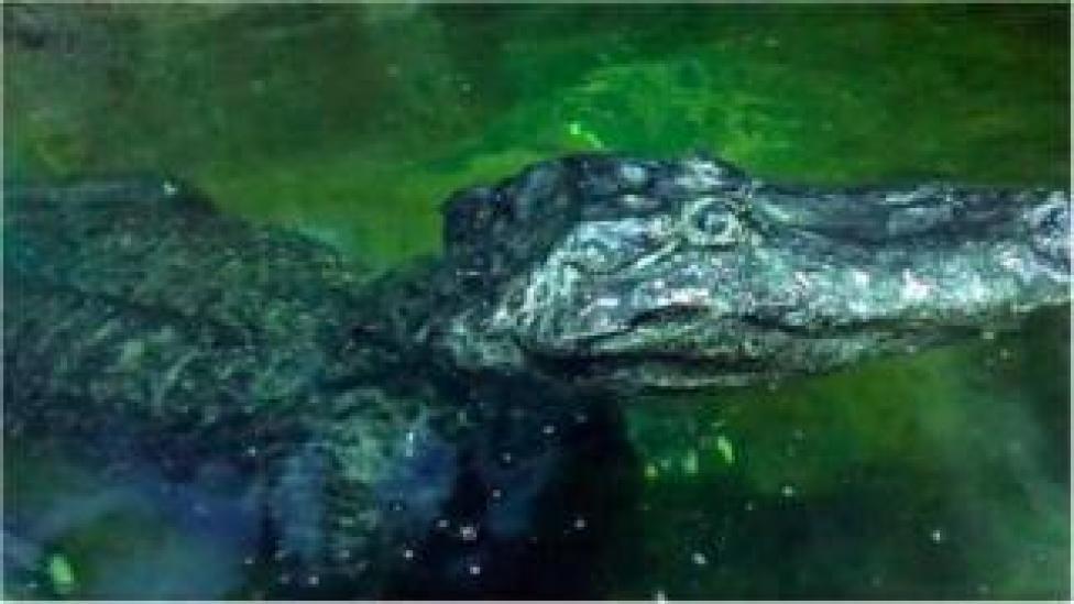 Saturn, the alligator