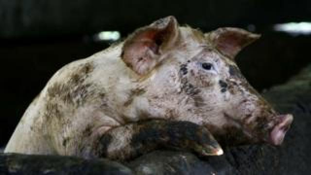 Pig with African Swine Fever