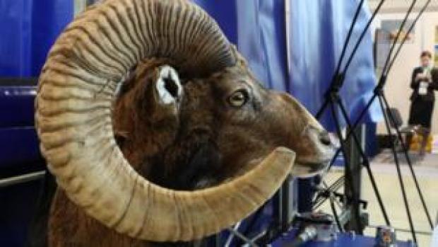 A stuffed head of an argali, or the mountain sheep, on display