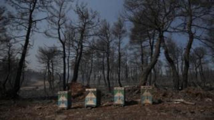 Des ruches se reposent au milieu des bois calcinés de l'île d'Eubée