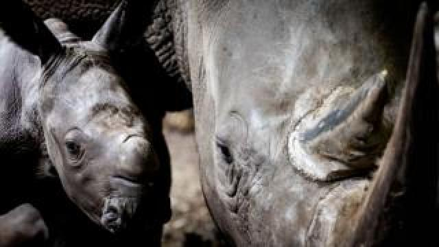 A five-day-old rhinoceros with his mother
