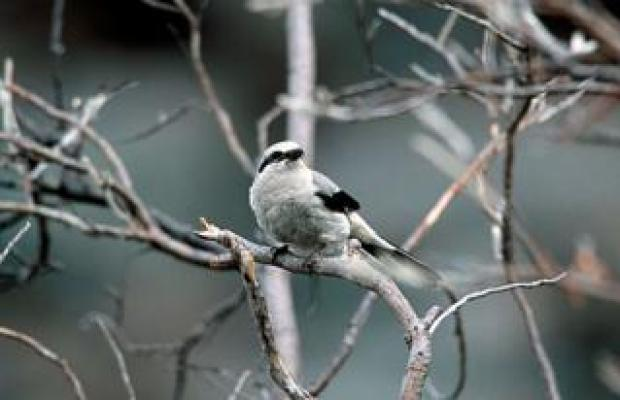 Northern shrike on a branch in Arctic refuge