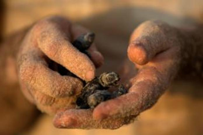 A child holds a newly-hatched baby sea turtle