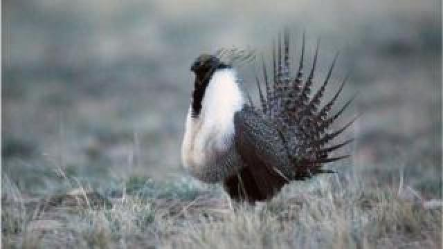 Sage grouse male