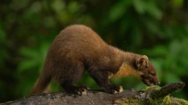 Image of the protected Pine Marten