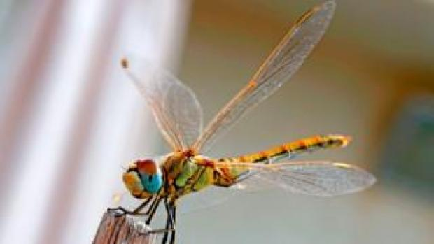 A Southern Darter dragonfly