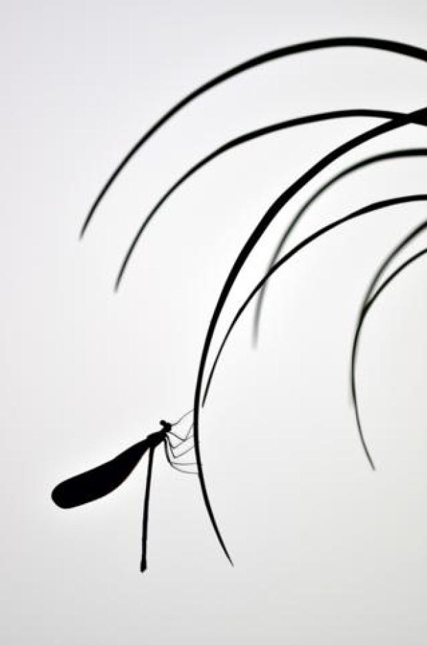 A silhouette of a damselfly on a thin leaf