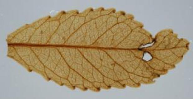 Miocene leaf