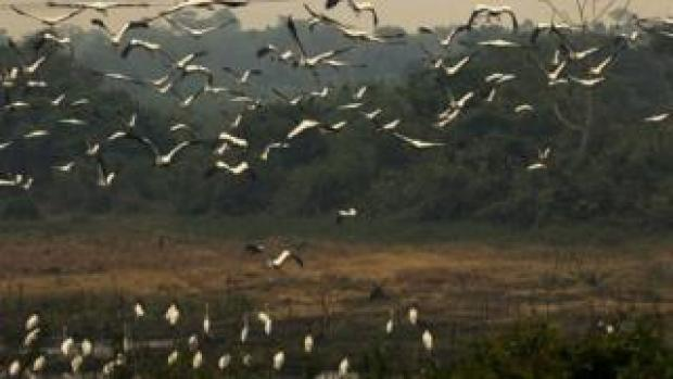 Birds fly near the burnt areas caused by forrest fires at the Pantanal ecoregion of Brazil