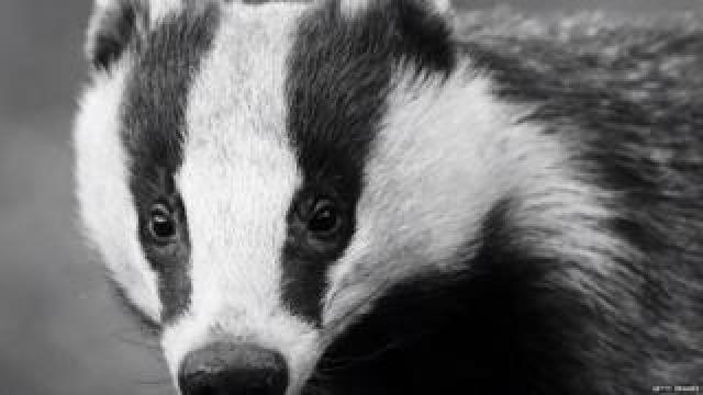 Badger (Getty Images)