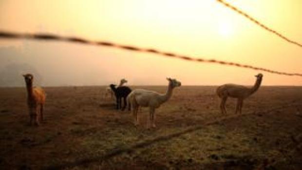 Spokes hangs over five llamas in a field