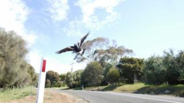 A magpie flies over a road in bushland