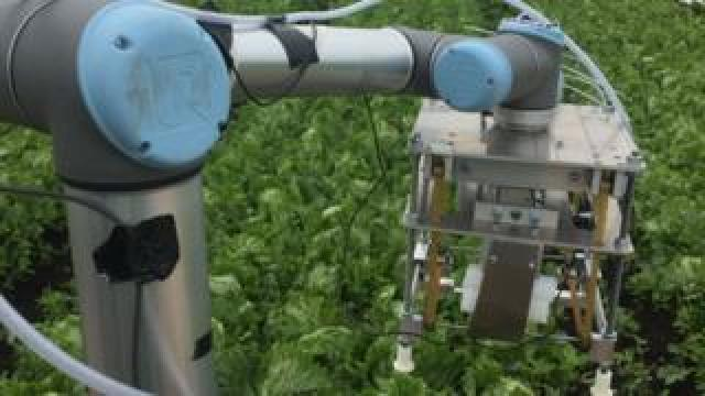Robotic lettuce harvester