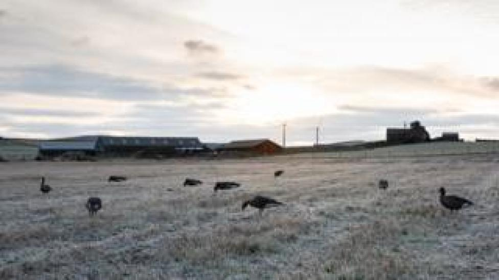 sport geese grazing