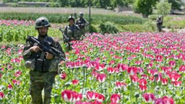 Soldiers in Afghan poppy field
