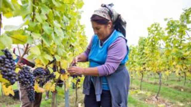 Migrant worker picking grapes in Hampshire