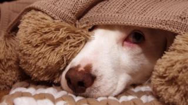 Scared dog under blanket