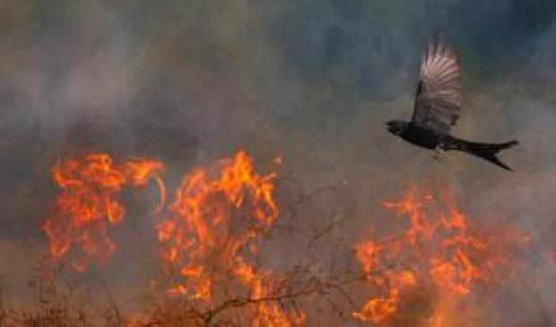 A black bird flies over flaming branches