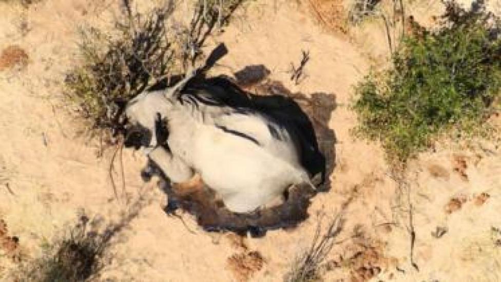 An elephant lies dead in the bush