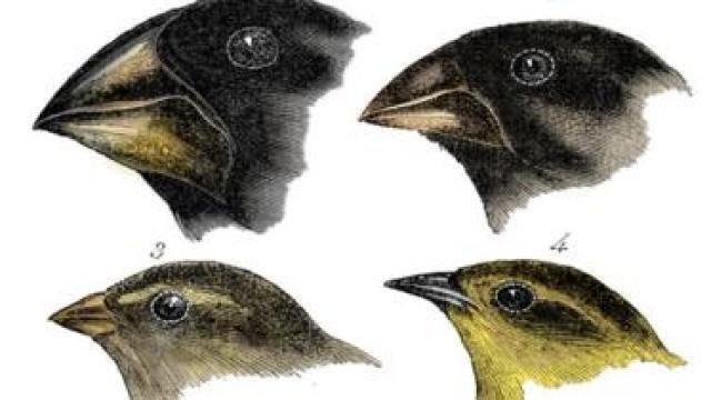 رسوم توضيحة لأربع أنواع من طائر الحسون كما رآها داروين