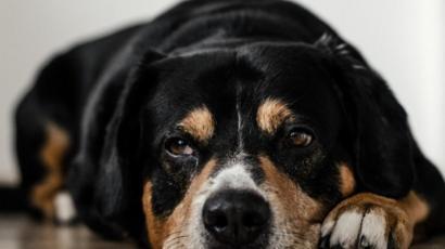 Cao Desanimado Entenda O Que Pode Estar Acontecendo Com Seu Pet