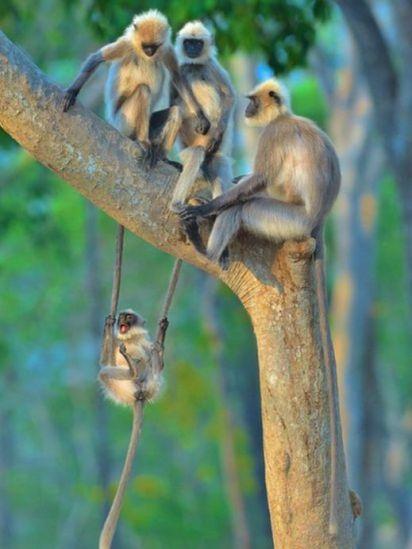 Um jovem langures (semnopithecus) se diverte perto da família. Foto tirada na Índia
