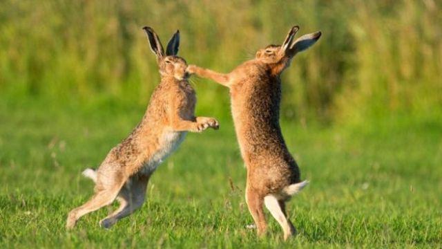 أرنبان من نوع