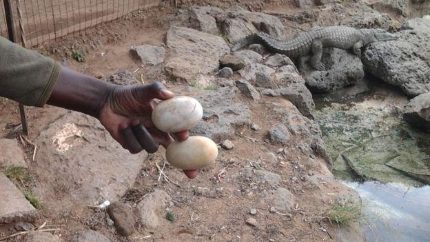 Bir işçi timsah yumurtaları tutuyor